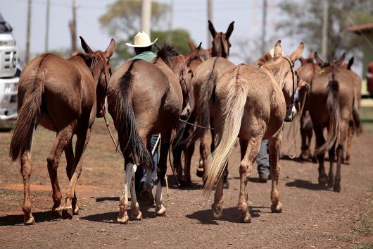 Barretos Muar do Sertão receberá mulas avaliadas em R$ 400 mil 48