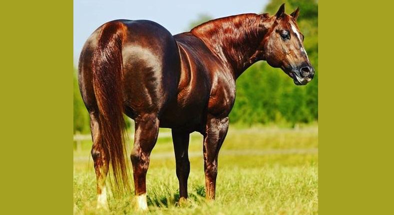 POP SUPERHORSE um dos maiores reprodutores de Laço de todos os tempos 41